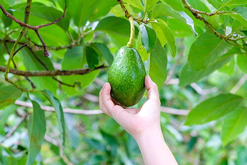 Hand picking an avocado from a tree